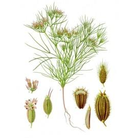 Cumin ou cumin blanc ou faux anis - Cuminum cyminum - fruit (digestion, tractus intestinal)