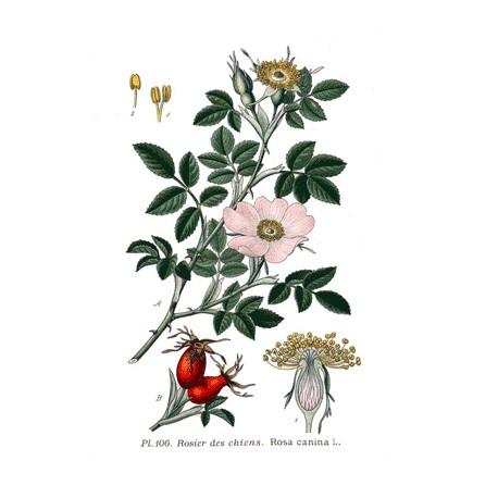 Cynorrhodon - Rosa canina - baie concassée (fatigue, immunité, digestion, articulations)