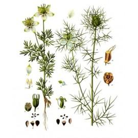 Nigelle Huile végétale BIO - Nigella sativa - de Centifolia 100ml