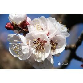 Abricotier, élixir floral bio de Deva