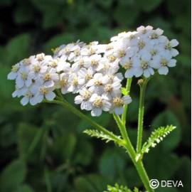Achillée blanche, élixir floral bio de Deva