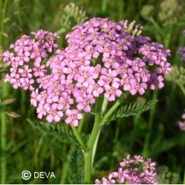 Achillée rose, élixir floral bio de Deva