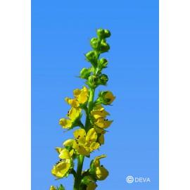 AIGREMOINE-AGRIMONY élixir floral du Dr Bach BIO de DEVA