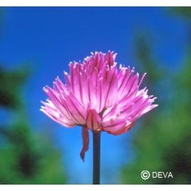 Ail sauvage, élixir floral bio de Deva