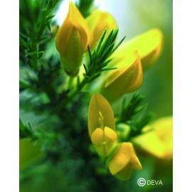 AJONC-GORSE élixir floral du Dr Bach BIO de DEVA