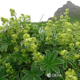 Alchemille argentée, élixir floral bio de Deva