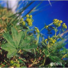 Alchemille commune, élixir floral bio de Deva