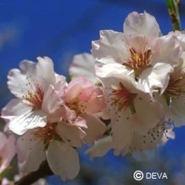 Amandier, élixir floral bio de Deva
