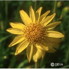 Arnica, élixir floral bio de Deva