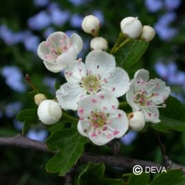 Aubépine, élixir floral bio de Deva
