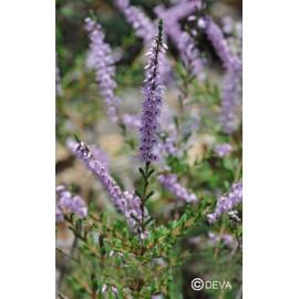 BRUYERE-HEATHER élixir floral du Dr Bach BIO de DEVA