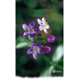 CENTAUREE-CENTAURY élixir floral du Dr Bach BIO de DEVA