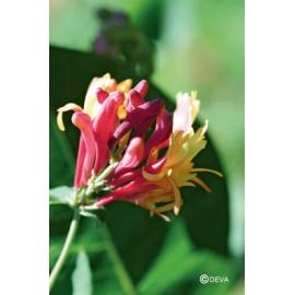 CHEVREFEUILLE - HONEYSUCKLE élixir floral du Dr Bach BIO de DEVA