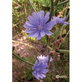 CHICOREE - CHICORY élixir floral du Dr Bach BIO de DEVA