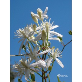 CLEMATITE - CLEMATIS élixir floral du Dr Bach BIO de DEVA