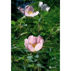 EGLANTIER - WILD ROSE élixir floral du Dr Bach BIO de DEVA