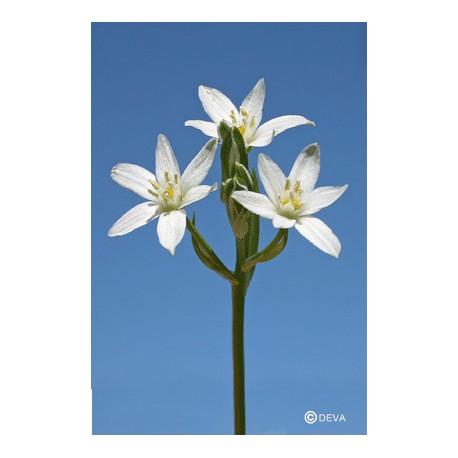 ETOILE DE BETHLEEM - STAR OF BETHLEHEM élixir floral du Dr Bach BIO de DEVA