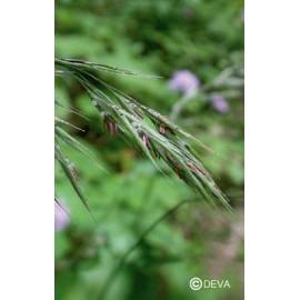 FOLLE AVOINE - WILD OAT élixir floral du Dr Bach BIO de DEVA