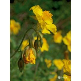 Hélianthème - Rock rose élixir floral du Dr Bach bio de Deva
