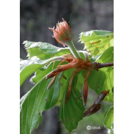 Hêtre - Beech élixir floral du Dr Bach bio de Deva