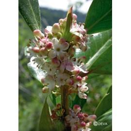 Houx - Holly, élixir floral du Dr Bach bio de Deva
