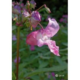 Impatiente - Impatiens, élixir floral du Dr Bach bio de Deva
