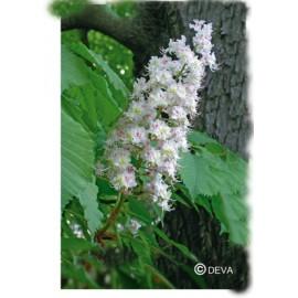 Marronnier blanc - White chestnut, élixir floral du Dr Bach bio de Deva