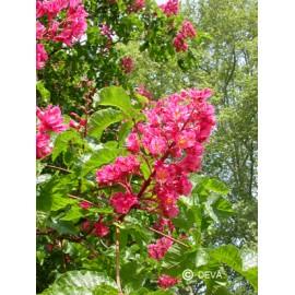 Marronnier rouge - Red chestnut, élixir floral du Dr Bach bio de Deva