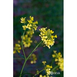 Moutarde - Mustard, élixir floral du Dr Bach bio de Deva