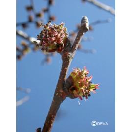 Orme - Elm, élixir floral du Dr Bach bio de Deva