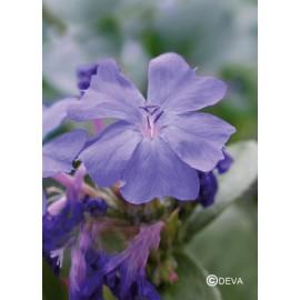 Plumbago - Cerato, élixir floral du Dr Bach bio de Deva