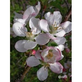 Pommier sauvage - Crab apple, élixir floral du Dr Bach bio de Deva