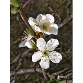 Prunus - Cherry plum, élixir floral du Dr Bach bio de Deva