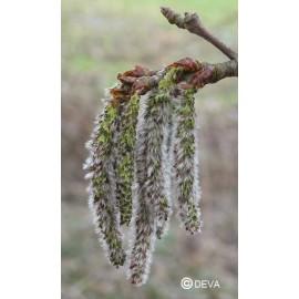 Tremble - Aspen, élixir floral du Dr Bach bio de Deva