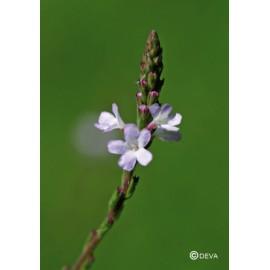 Verveine - Vervain, élixir floral du Dr Bach bio de Deva