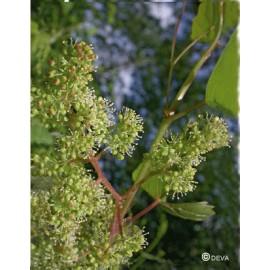 Vigne - Vine, élixir floral du Dr Bach bio de Deva