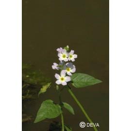 Violette d'eau - Water violet, élixir floral du Dr Bach bio de Deva