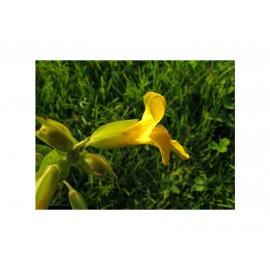Mimulus jaune, élixir floral du Dr Bach bio de Deva